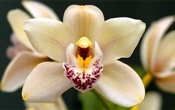 Výstava orchidejí vKlosterneuburgu